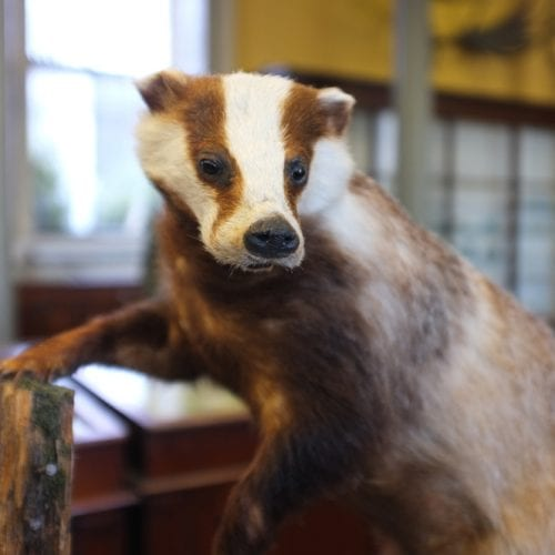 Badger at Natural History Museum in Dublin